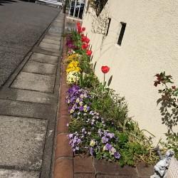 冬花壇から夏花壇入れ替え